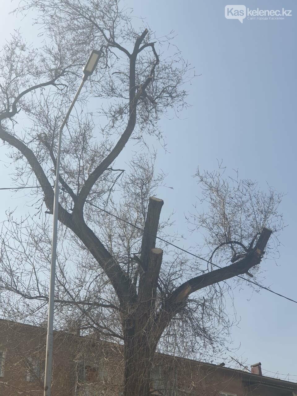 Незеленый Каскелен: почему в городе пилят деревья, фото-12