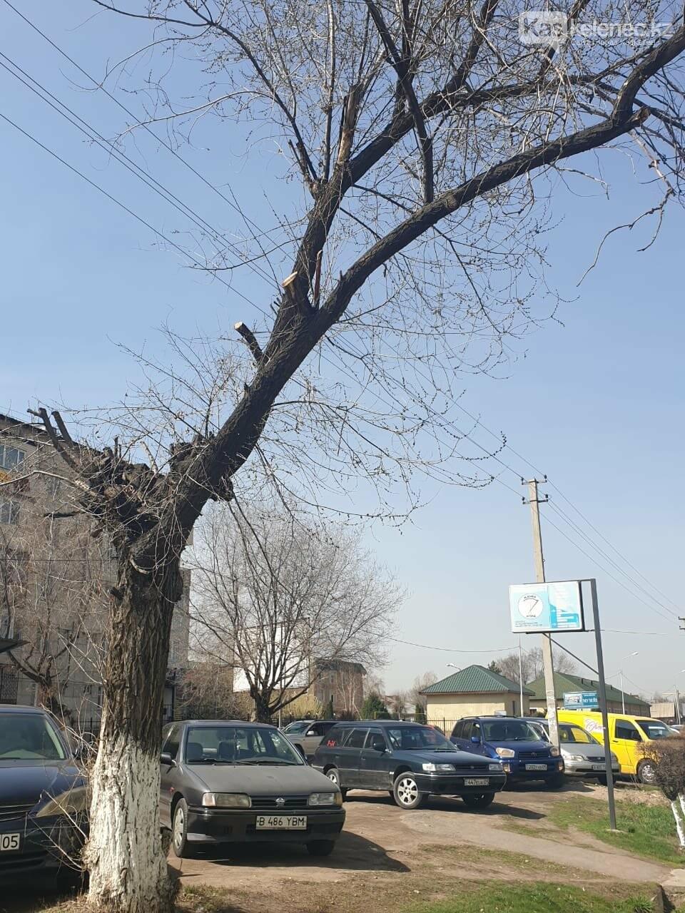 Незеленый Каскелен: почему в городе пилят деревья, фото-4