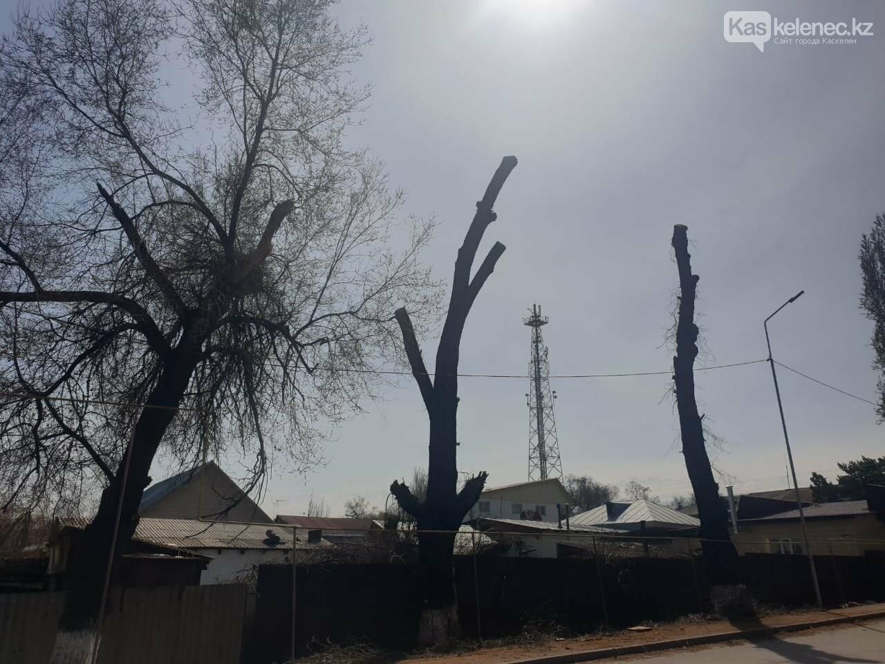 Незеленый Каскелен: почему в городе пилят деревья, фото-7